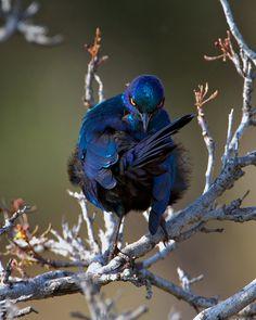 https://flic.kr/p/fG9bdf | #@&&%!!! | Glossy Starling Dry riverine bush Kruger National Park South Africa