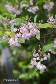 Flowering Blueberry Ash Tree
