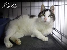 KATIE is a spayed, female Domestic Shorthair in need of rescue or adoption from the Pocahontas County Animal Shelter in Marlinton, WV.   Photo 1 of 2  For rescue or adoption info email: asapwva@gmail.com  PLEASE SHARE, TAG & CROSSPOST!