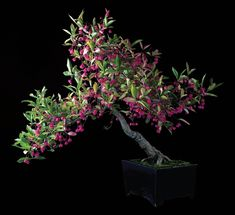Japanese Spindle Tree, Euonymus sieboldianus. Size: 23 inches. Estimated age: 40 years.