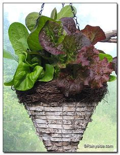 old hanging basket made from birch bark rimmed with twiggy goodness, and filled it with lettuce plants