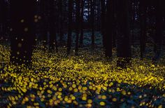 Fireflies light up the forest in Okayama, Japan. Long exposure photograph by Tsuneaki Hiramatsu. Okayama, Firefly Art, Long Exposure Photos, Exposure Photography, Photography Tips, The Great Outdoors, Paths, Cool Photos, Impressionism