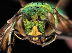 abeille-vert