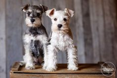 Two of the most adorable miniature schnauzer pups you ever did see! Photo by Shelley Paulson Photography Schnauzer Mix, Schnauzer Grooming, Standard Schnauzer, Cute Puppies, Cute Dogs, Miniature Schnauzer Black, Silly Dogs, Most Popular Dog Breeds, Pets