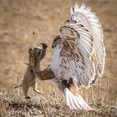 Prairie dog tries to scare off vicious hawk twice its size but fails Clawed: The Prairie Dog raised its arms and opened its mouth wide in an apparent bid to scare of the Ferruginous Hawk as it swooped down for it Eagle Pictures, Bird Pictures, Animal Pictures, Nature Animals, Animals And Pets, Funny Animals, Cute Animals, Artic Animals, Woodland Animals