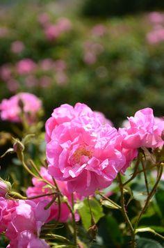 Ingredient: Distilled Rosa Damascena Flower Water   Ayse Kilic   Pulse…