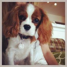 Farrah, Cavalier King Charles Puppy at 4.5 months