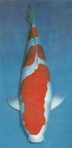 Koi carp the most expensive koi fish ever sold fish for Expensive koi fish