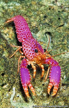 Pink Lobster | Photo by Gary Bell OceanwideImages.com