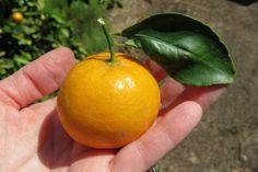usos mandarina- cultivar mandarina