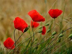 Grain & poppy -