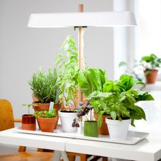 1000 images about 365 days of fresh herbs on pinterest indoor herbs indoor plant lights and. Black Bedroom Furniture Sets. Home Design Ideas