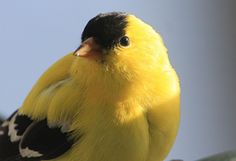 Extreme close-up, American Goldfinch