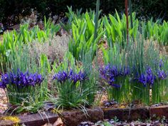 Iris reticulata 'Harmony' with creeping thymes and tulip foliage