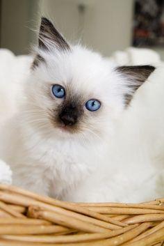 Looks just like my Ragdoll when she was a kitten.Ragdoll Persian Are Beautiful❤⭐❤ Kittens And Puppies, Cute Cats And Kittens, Kittens Cutest, I Love Cats, Kittens Meowing, Fluffy Kittens, Fluffy Cat, Pretty Cats, Beautiful Cats