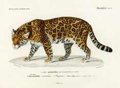 Jaguar (Panthera Onca) illustrated by Charles Dessalines D' Orbigny (1806-1876). Digitally enhanced from our own 1892 edition of Dictionnaire Universel D'histoire Naturelle. | free image by rawpixel.com Jaguar Animal, Free Printable Art, Free Printables, Vintage Art Prints, Free Prints, Free Illustrations, Images, Diy, Wall Art