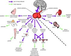 Functions of the pituitary gland Nursing School Notes, Ob Nursing, Nursing Schools, Nursing Students, Medical Students, Human Anatomy And Physiology, Brain Anatomy, Pituitary Gland, Human Body Systems