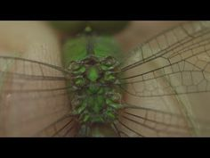 Dragonfly Wings in Slow Motion & Close-Up - Smarter Every Day 91 - YouTube