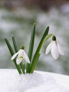 Perce neige #jardin #garden