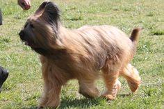 briard dog photo | Briard Breed Information, Briard Images, Briard Dog Breed Info