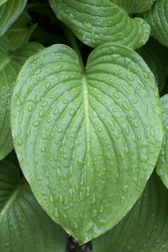 How to Grow (and love) Hostas!