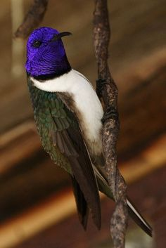 Ecuadorian Hillstar, (Oreotrochilus chimborazo) is a species of hummingbird found at altitudes of 3,500 to 5,200m, (no other species of hummingbird occurs at higher altitudes) in the Andes of Ecuador and far southern Colombia.