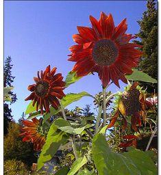Sunflower- Red Sun- 100 Seeds each pack Giant Sunflower, Sunflower Seeds, Annual Flowers, Rare Flowers, Heavy Water, Red Sun, Light Purple, Outdoor Gardens, Lights