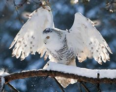birds of a feather Snowy Owl (Photo by Radim Urban) Beautiful Owl, Animals Beautiful, Cute Animals, Owl Bird, Pet Birds, Owl Photos, Mundo Animal, Snowy Owl, Fauna