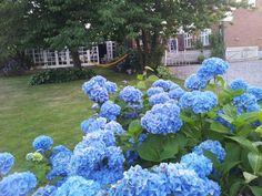 Blå hortensia