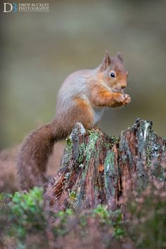 Red Squirrel  by Drew Buckley on 500px