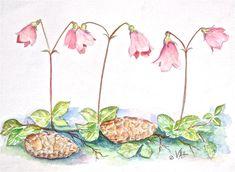 twinflower-virginia-ann-hemingson.jpg (900×659)