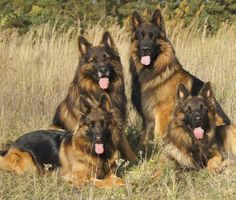 Shiloh Shepherds. Calmer and larger than GSD's, so not as good for work but when bred well can be better as family and personal/disability service dogs. I think they are gorgeous.