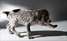 German Short-haired Pointer Dog