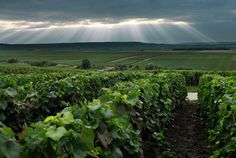 Chardonnay in Champagne region Champagne Region, Champagne France, Wine Tourism, European Travel, Vineyard, Clouds, Adventure, World, Pedestrian