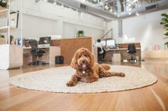 Ollie the office Labradoodle / guard dog / support dog / cutest dog ever (don't put on)