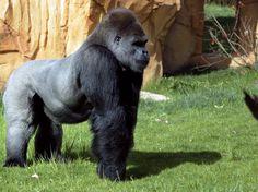O gorila-das-montanhas corre risco de extinção  Foto: AFP