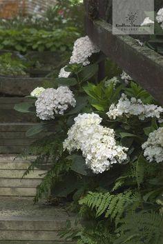 Hortensien als Randbepflanzung sorgen für romantischen und nostalgischen Charme in jedem Garten. Hier die schneeweiße Endless Summer® 'The Bride'.