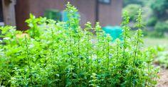 Cómo sembrar semillas de orégano en casa