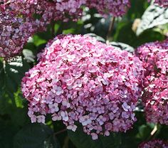 NEW! Hydrangea arborescens Incrediball® Blush - White Flower Farm