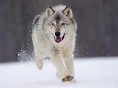 Wolf Facts For Kids | Wolf Habitat & Diet