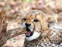 Cheetah cub (by Brett Terry)