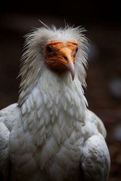 egyptian vulture by gael faulds - Pixdaus