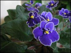 Tudo Sobre Violetas | Flores - Cultura Mix