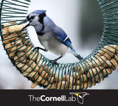Blue Jays quickly figure out how to get peanuts from many novel feeders. Learn more here: http://info.allaboutbirds.org/evergreen_birdnotes-winter-bird-feeding