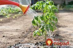 Tips for Growing Tomatoes Pruning Tomato Plants, Tomato Fertilizer, Tomato Seedlings, Tomato Farming, Tips For Growing Tomatoes, Types Of Tomatoes, Growing Tomatoes In Containers, Grow Tomatoes, Baby Tomatoes