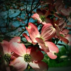 Gorgeous dogwood by Payson Copper!