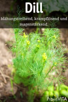 Dill – eine vollkommen natürliche Bakterien-Bremse The essential oil contained in the fruits of the dill can release cramps and inhibit the proliferation of bacteria. Veg Garden, Garden Plants, Herbal Tea Benefits, Spices And Herbs, Naturopathy, Tea Blends, Medicinal Herbs, Edible Flowers, Natural Medicine