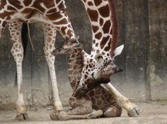 Memphis Zoo, we have lots of baby giraffes!