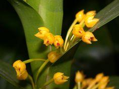 Maxillaria miniata