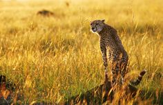 Cheetah headed to extinction with just 7,100 left, wildlife experts warn.  cheetah observes the plains in Masai Mara game reserve in this file photo